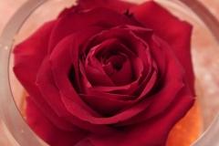 Saint-Valentin-Rose-gros-plan